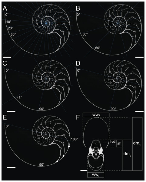 Measurements of conch parameters on CT-images of the studied Nautilus pompilius.