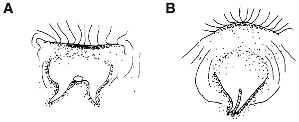 Ventral views of male urogenital papillae (anterior is up).