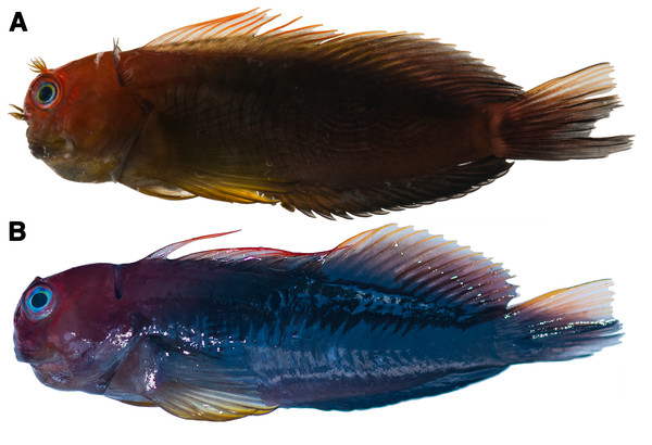 Photographs of freshly dead Cirripectes matatakaro sp. nov. specimens showing live coloration.