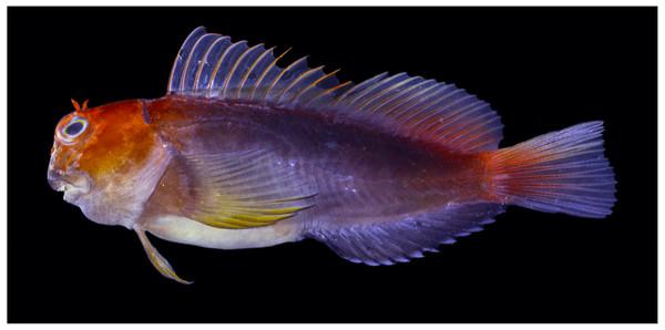 Freshly dead Cirripectes matatakaro sp. nov. 43 mm SL adult male paratype (BPBM 16928, Pitcairn Island).