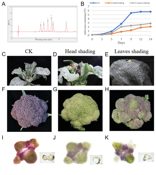 Accumulation of anthocyanins under head-shading, leaves-shading and normal light (CK) treatment in Broccoli.