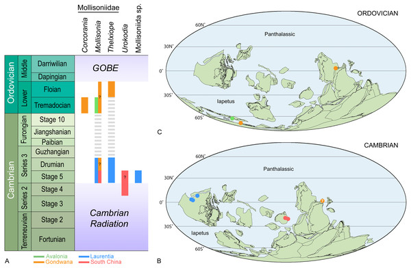 Stratigraphical (A) and palaeogeographical distributions of representatives of the order Mollisoniida during the Cambrian (B) and Ordovician (C).