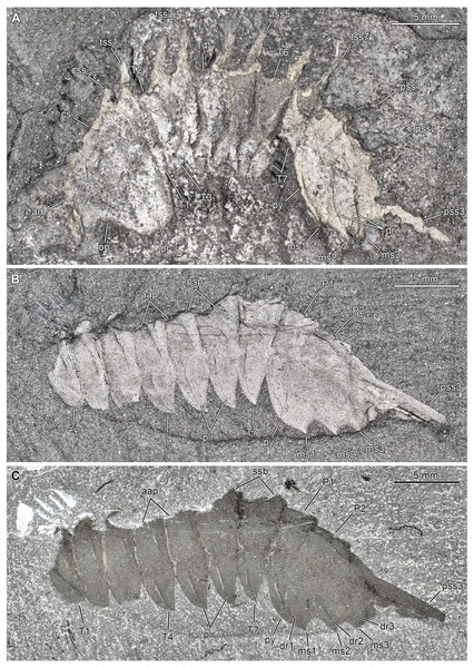 Thelxiope palaeothalassiaSimonetta & DelleCave, 1975 from the Cambrian (Wuliuan) Burgess Shale Formation, British Columbia, Canada.