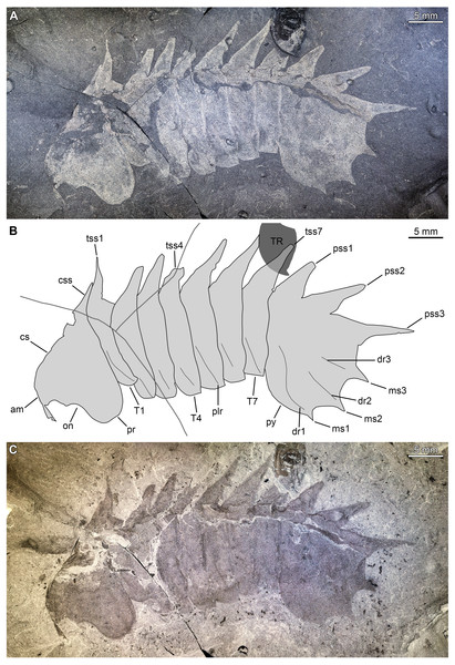 Thelxiope holmani sp. nov. from the Cambrian (Drumian) Wheeler Formation in the House Range of Utah, USA.