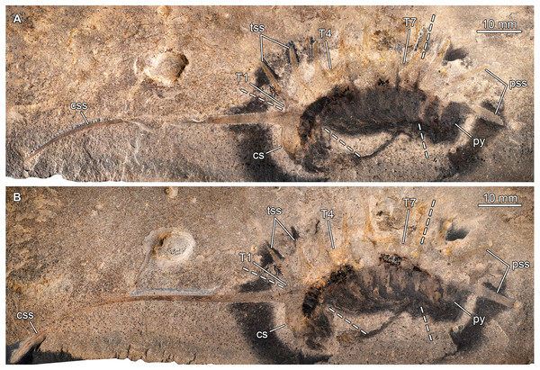 Thelxiope spinosa (ConwayMorris & Robison, 1988) from the Cambrian (Drumian) Wheeler Formation in the House Range of Utah, USA.