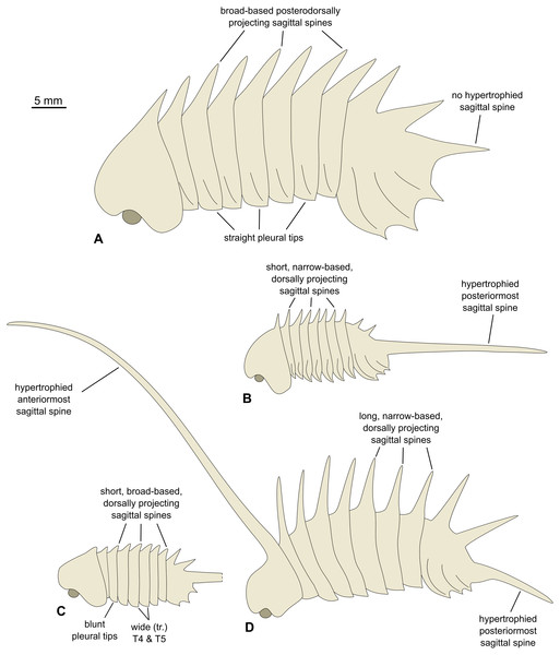 Morphological reconstructions of the four species of Thelxiope and their diagnostic features.