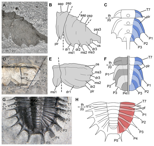 Comparison between the pygidial structures of Mollisoniidae and trilobites.
