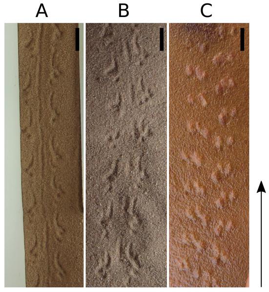 Scorpion Tityus serrulatus. tracks in sand (A and B) and Paleohelcura araraquarensis isp. nov. holotype LPP-IC-0028 (C).
