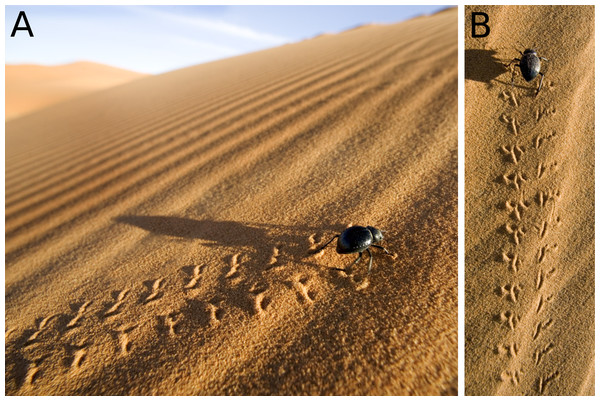 Darkling beetles (Tenebrionidae) and their tracks from Morocco dunes.