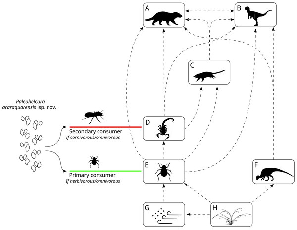 Reconstruction of the Botucatu paleodesert food web based on the interpretation of the probable producers of the ichnofossil of Botucatu Formation.