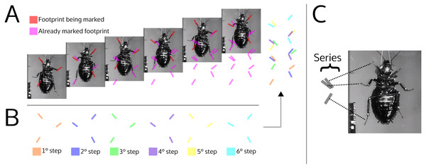 Illustration simulating the marks left by a cockroach while walking (ventral view).
