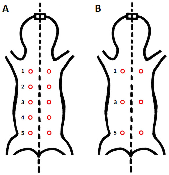Schematic location of skin sampling points on the animal.