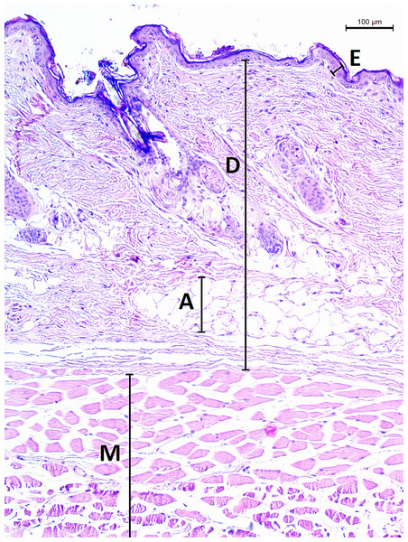 Histological section of skin in Fukomys mechowii.
