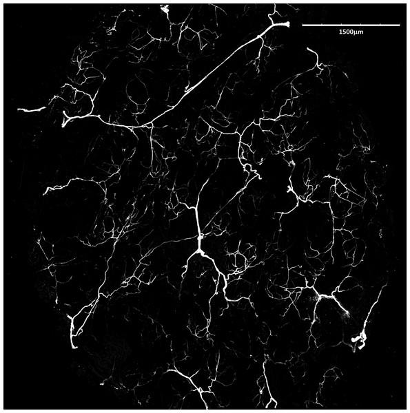 Blood vessels of Fukomys mechowii.