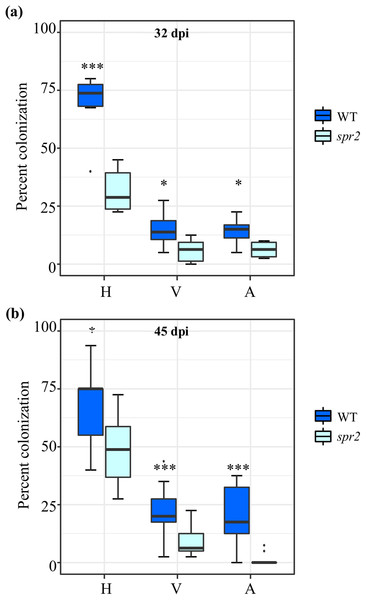 Degree of arbuscular mycorrhizal fungi (AMF) colonization at (A) 32 days post inoculation (dpi) and (B) 45 dpi, in roots of wild type (WT) and spr2 tomato plants inoculated with a consortium of six AMF species.