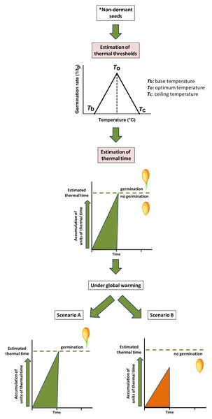 Modelling of thermal time approach to study the germination process of non-dormant seeds.