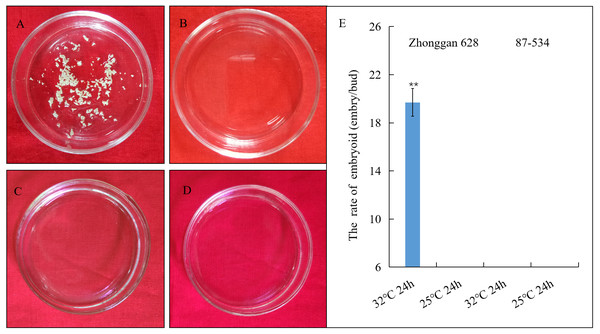 Embryoid observation and statistical analysis of embryoid rate under heat shock treatment of Zhonggan 628 and 87–534 microspores in vitro.