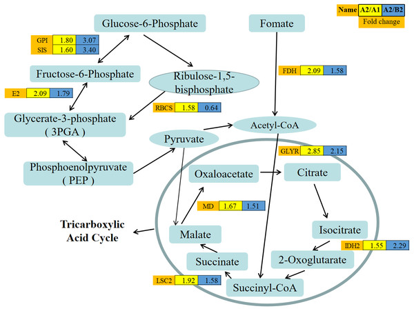 Abundance patterns of protein species involved in the carbohydrate metabolism.