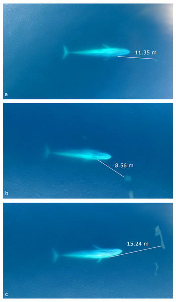 Still images from UAS video of three separate surface blue whale foraging events captured when it was estimated that the whale visually detects the krill patch with her right eye.