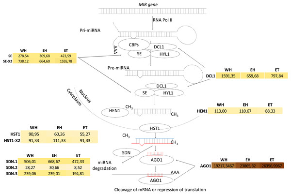 Analysis of miRNA biogenesis in Hevea brasiliensis.