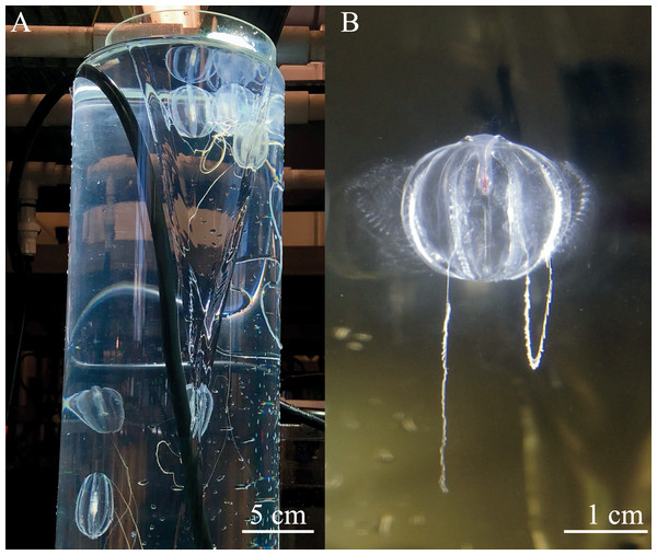 Spawning ctenophores in the diffusion tubes.