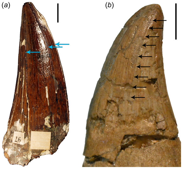 Comparisons of brachauchenine and tylosaurine tooth crowns.