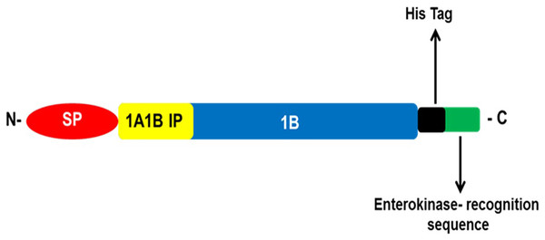 The recombinant cassette, shows coding sequence of the 1A-1B inter-peptide (1A1B-IP is a short polypeptide linker that connects VP4/1A and VP2/1B, the signal peptide (SP), histidine tag, enterokinase recognition sequence and the 1B capsid protein, in fusion with a signal peptide.