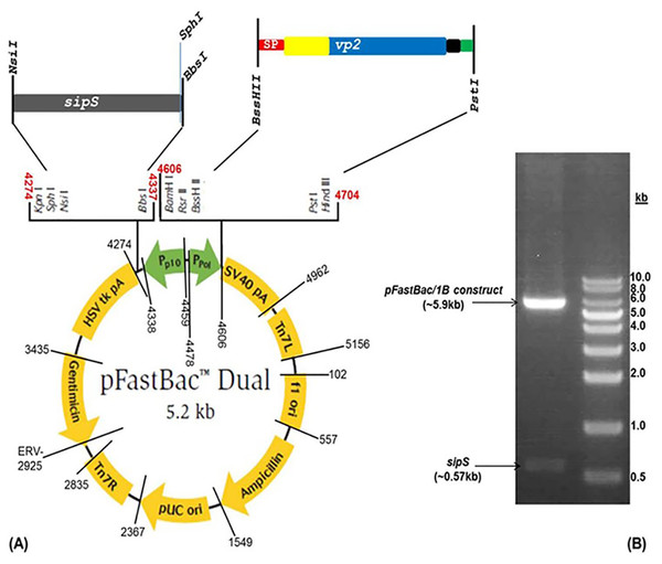 Construction of pFastBacDual vector charboring the 1B cassette. (A) Plasmid map shows the recombinant cassette that was cloned downstream from the Ppol promoter of the modified pFastBac-Dual vector. (B) A total of 1% agaros gel shows the verified recombinant plasmid using restriction enzyme digestion.