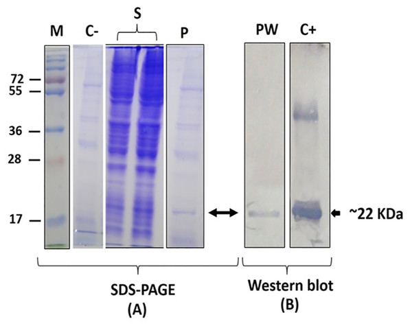 Protein analysis of 1B expressed in SF9 cells.