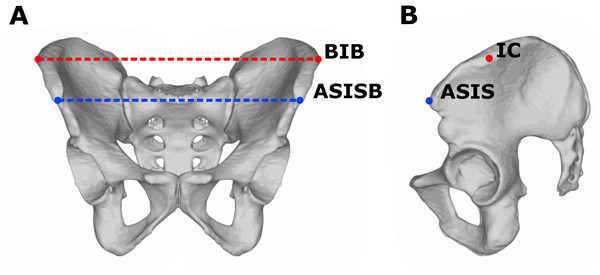 Measurements of pelvic breadth.