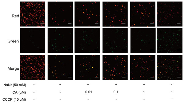 Effect of ICA on MMP in NaN3-injured PC12 cells.
