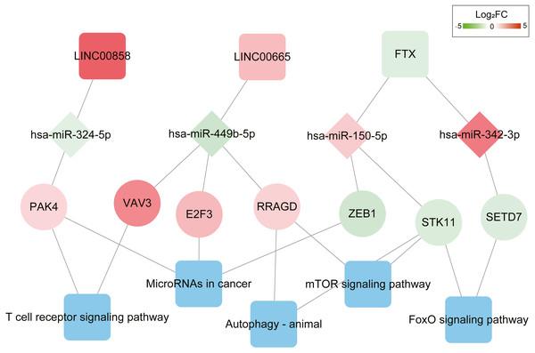 ceRNAs interaction network of lncRNA–miRNA–mRNA-KEGG pathway.