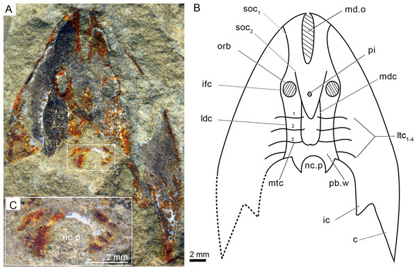 Photographs (A) and interpretative drawing (B) of Rumporostralis xikengensis gen. nov., IVPP V25136.1 (C) close-up of postbranchial wall and pore on it for passage of the neural canal (box region of Fig. 4A).