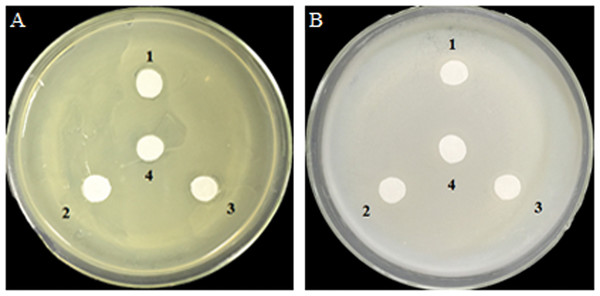 Inhibition effects of the GOD preparations on growth of A. tumefaciens LBA4404 (A) and E. coli DH5α (B) in solid media.