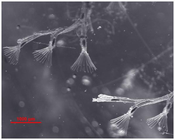 Bryozoan Fredericella sultana colony.