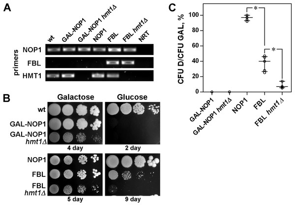 Arginine methylation by HMT1 influences FBL functioning.
