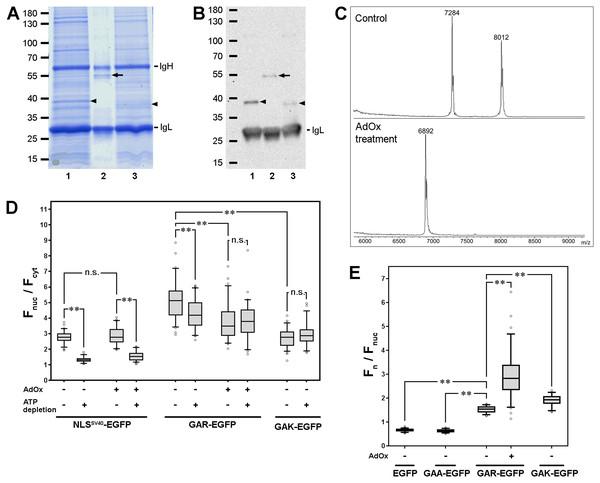 Arginine methylation influences FBL localization.