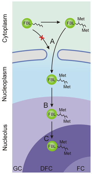 Stages of FBL transfer from the cytoplasm to intranucleolar transcription sites (in the DFC).