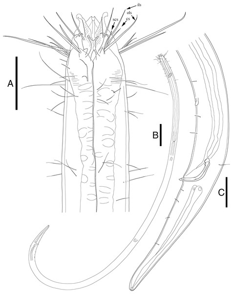 Enoploides koreanus sp. nov. male.