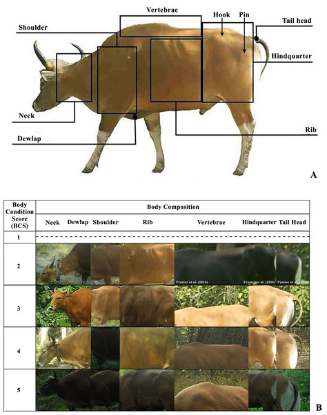 The body composition for body condition scoring (BCS) of banteng (Bos javanicus) (A) and photographic features of banteng in each location of body composition in each BCS criteria (B) in the Salakphra Wildlife Sanctuary.