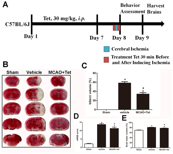 Tetrandrine (Tet) alleviated middle cerebral artery occlusion (MCAO)-induced injury in mice.
