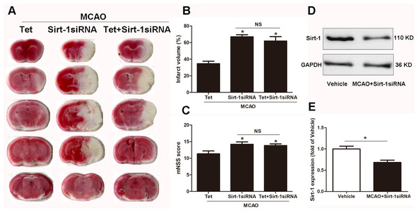 The effect of Sirt-1 siRNA pretreatment on infarct volumes and neurobehavioral outcomes in cerebral ischemia in mice.