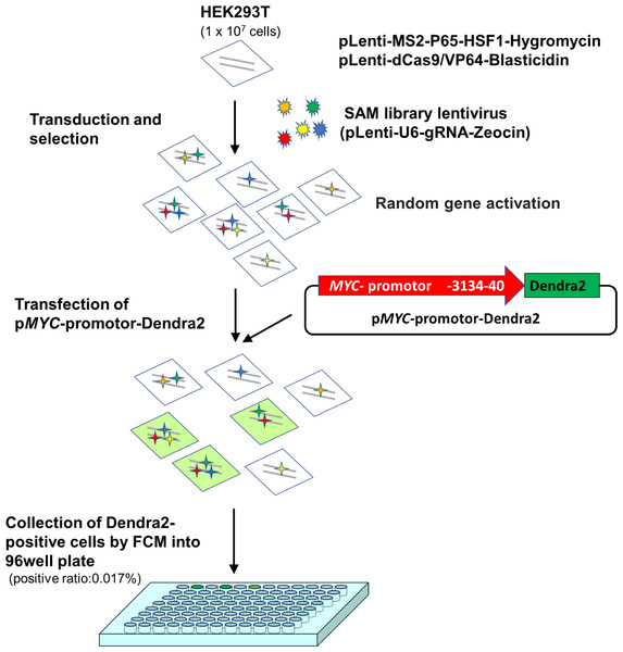 A scheme for MYC transcriptional activator screening with the CRISPR activation library.