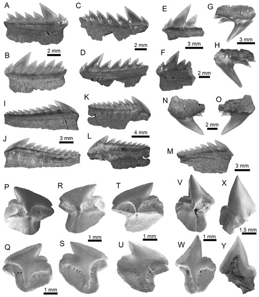 Hexanchiformes and Squaliformes of the Montañita-Olón site (Dos Bocas Formation).