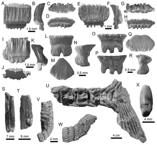 Myliobatiformes and Osteichthyes remains of the Montañita-Olón site (Dos Bocas Formation).