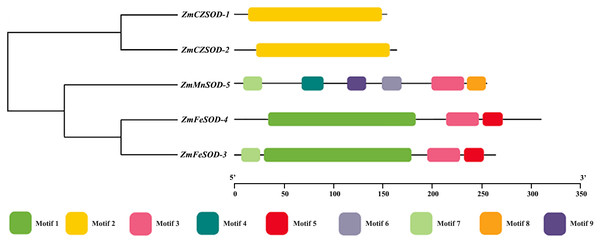 Phylogenetic relationship and conserved motif analysis of SOD proteins from Zostera marina.