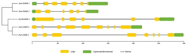 The gene structure of SOD family member in Zostera marina.