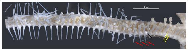 Astrolirus. patricki sp. nov. holotype RSIOAS044, mosaic image of abactinal arm.