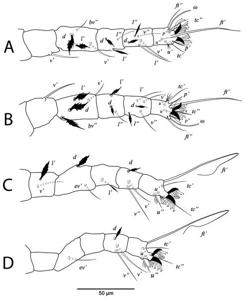 Cenopalpus umbellatus sp. nov.