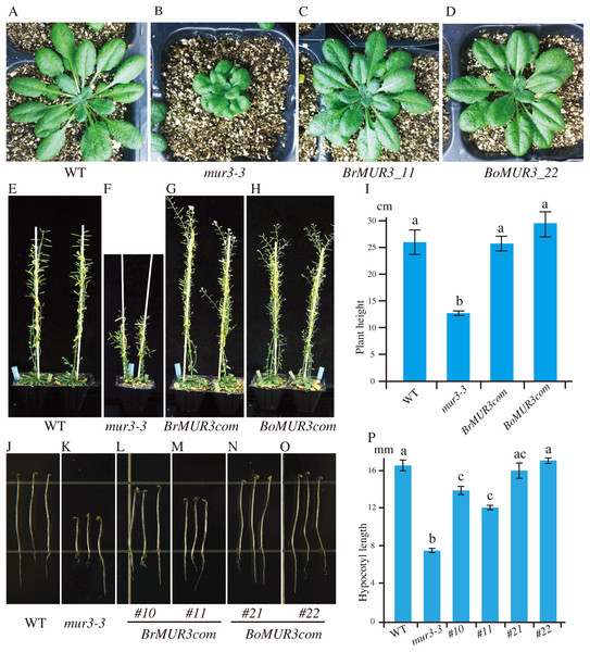 Four-week-old aerial phenotypes of WT (A), mur3-3 (B) and mur3-3 plants overexpressing BrMUR3 (C) and BoMUR3 (D) and 8-week-old aerial phenotypes of WT (E), mur3-3 (F) and mur3-3 plants overexpressing BrMUR3 (G) and BoMUR3 (H).